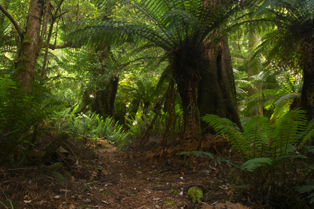 Evercreech Forest Reserve temperate rainforest home of the white knights worlds largest gum trees