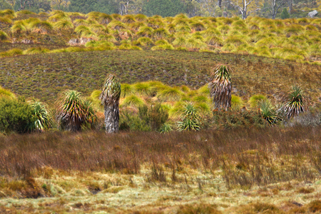 pandanus trees Richea pandanifolia cushion plants and button grass in world heritage overland track area craddle mountain Stock Photo