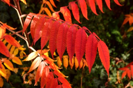 Stags horn catfish (Rhus typhina) fall of red leaves glowing in the sun