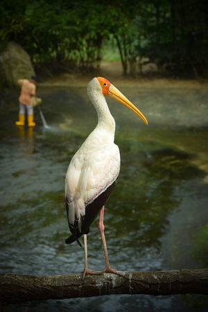 The stork announced in yellow is a large bird wading in the family of stork Ciconiidae. It starts in Africa south of the Sahara and Madagascar. Scientific name: Mycteria ibis