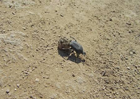 coleopter: dor-beetle on the sand close-up