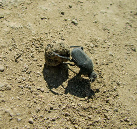 dor-beetle on the sand close-up