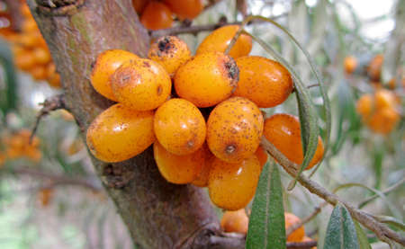 ripe buckthorn berries on a branch, close-up photo