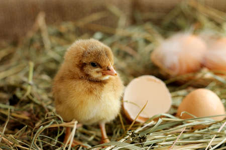 chicken egg: Image of adorable hatched chick on hay background, close-up Stock Photo