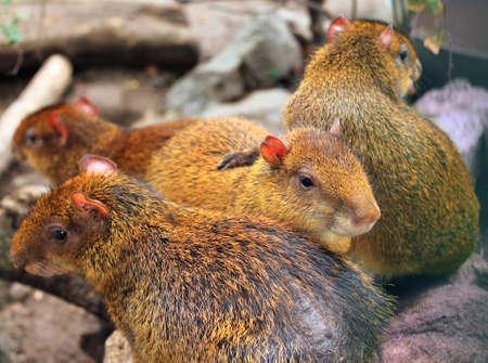 agouti: Image of Central American agouti at zoo, close-up