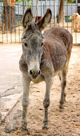 ears donkey: Image of adorable sad donkey at zoo, close-up Stock Photo