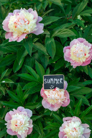 pion: Image of bush peonies and sign saying Summer Stock Photo