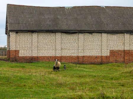 hijos: Granja. Imagen de cordero con cr�as pastan en el prado