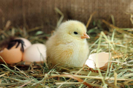 hen: Cute yellow chicken and egg shell on background, close-up