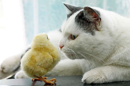 Image of cat sniffing cautiously little chicken, close-up Reklamní fotografie - 54343406