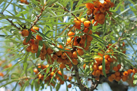 seabuckthorn: Bush of sea-buckthorn with ripe berries, close-up