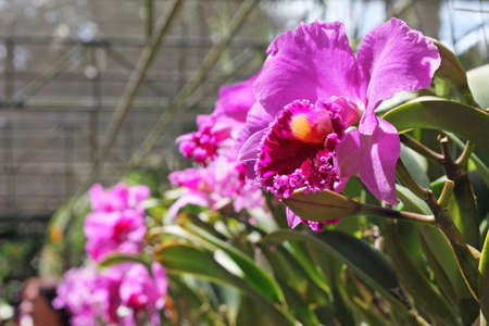 Beautiful purple orchid grows in greenhouse, close-up