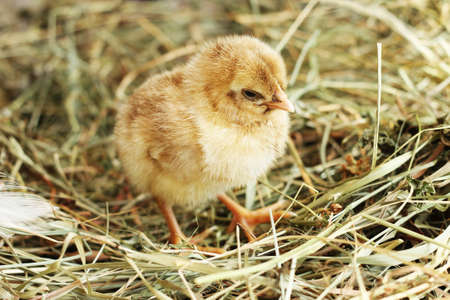 Farm. Studio photo of little chicken on the hay, close-up