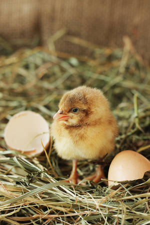 Farm animals. Vertical photo of tiny chicken, close-up