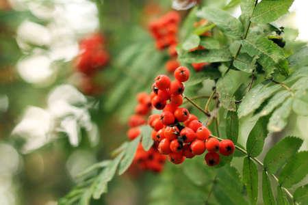 Photo of rowan berries on a bush, close-up