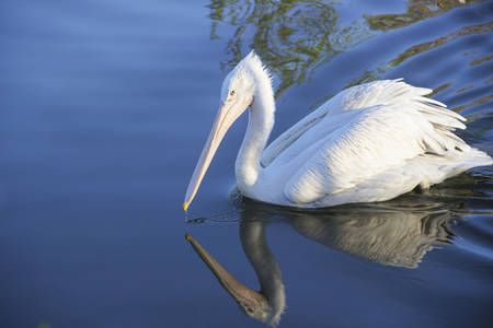 Photo of pelican floats in the pond Reklamní fotografie