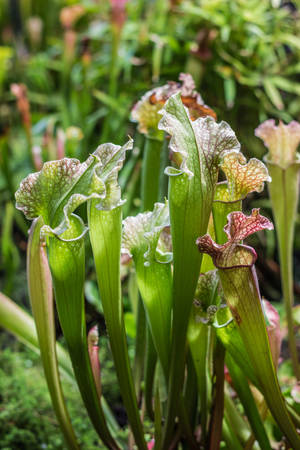 Carnivorous plant Sarracenia in the botanical garden, close-up