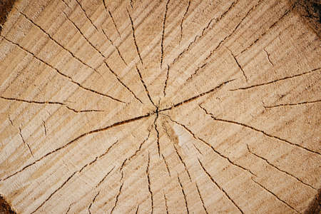 Wood texture. Cross section of the tree, close-up