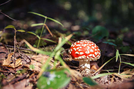 Image of Amanita, lit by the sun, in the forest