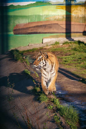 In the zoo. Vertical photo of the tiger growls