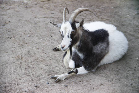 In the zoo. Photo of the goat lies on the sand Reklamní fotografie