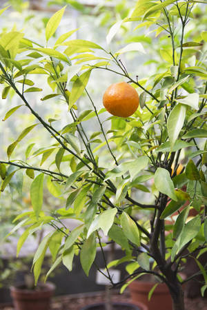 Image of mandarin tree grows in the botanical garden Reklamní fotografie