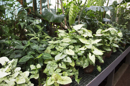Image of different types of syngonium in greenhouse