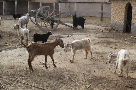 Photo of Thoroughbred goats in the barnyard