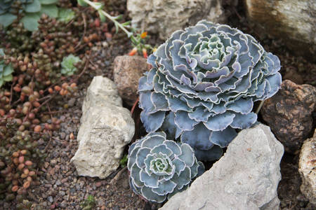 Image of Echeveria Shaviana and Sedum in landscape design