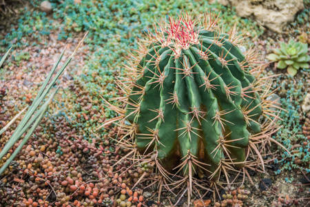 Image of Echinocactus and Sedum in the botanical garden