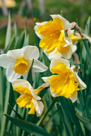Image of beautiful varietal daffodils in the garden