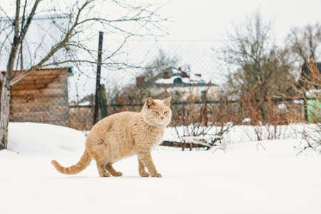 Animals. Beautiful red cat walks on a snowdrift
