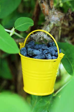 Summertime. Photo of fresh honeysuckle berries Reklamní fotografie - 118891700
