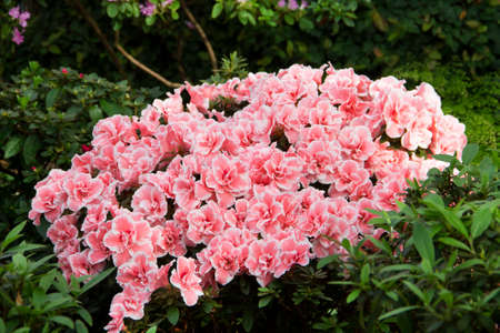 Image of beautiful Azalea bush in a botanical garden Reklamní fotografie - 118891703