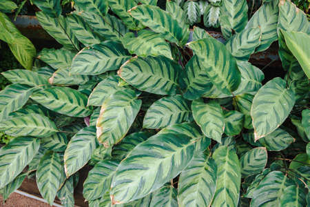 Image of Calathea alberti bush in a botanical garden