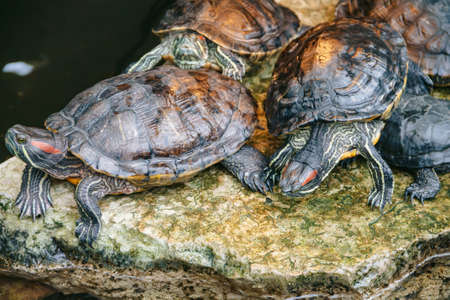 Trachemys scripta. Image of Aquatic turtles on the stone