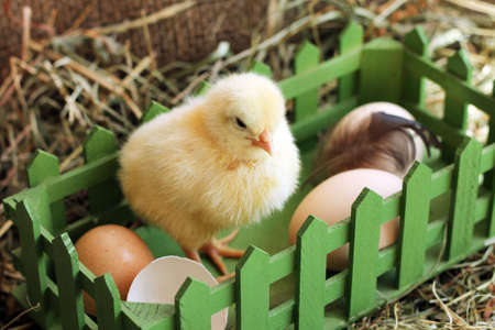 Animals. Photo of little chicken and wooden box