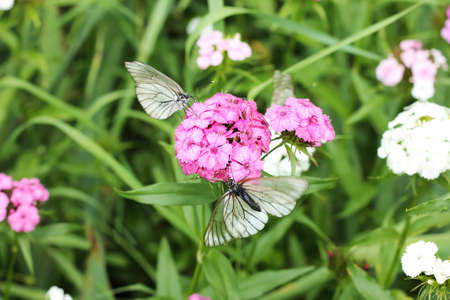 Image of Aporia crataegi butterflies on Dianthus flowers Reklamní fotografie