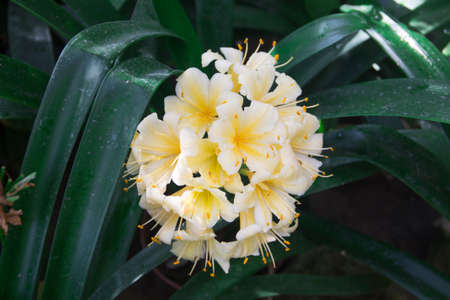 Image of blooming clivia in the botanical garden Reklamní fotografie