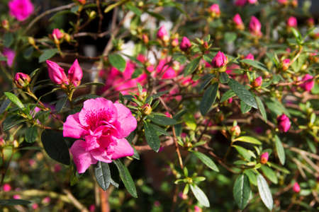 Image of pink Azalea bush in the botanical garden