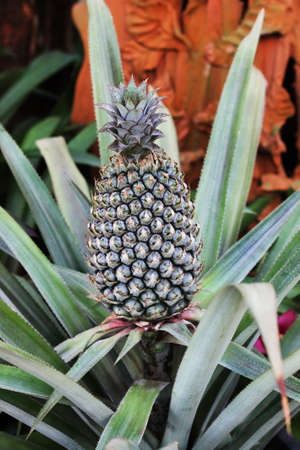 Image of pineapple grows in a tropical garden