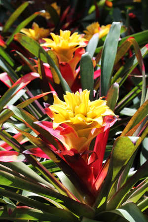 Asia flora. Bromeliad blooms in a tropical garden, close-up Reklamní fotografie