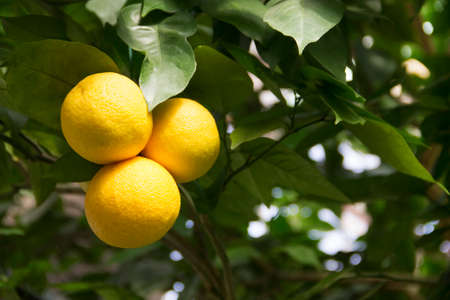 Horizontal photo of grapefruit tree in botanical garden