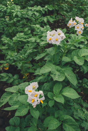 Vertical photo of potatoes are blooming on the field Reklamní fotografie