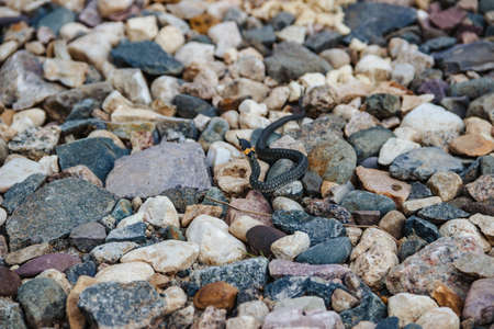 Photo of little grass snake crawling on the stones