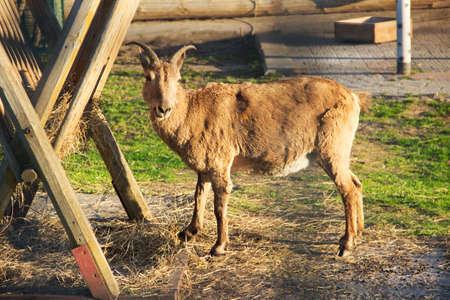In zoo. Horizontal photo of the goat is feeding Stock Photo