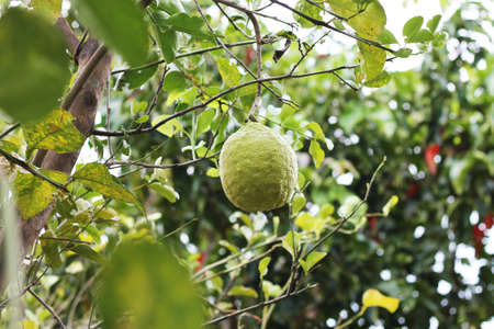 In the garden. Bergamot ripens on a tree, close-up Stock Photo