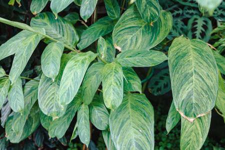 Image of Ctenanthe lubbersiana in the botanical garden Stock Photo