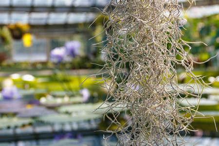 Focus on Tillandsia usneoides in the aquatic greenhouse, close-up Stock Photo