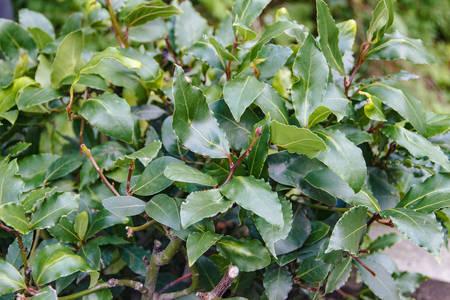 Horizontal photo of a laurel bush in the garden